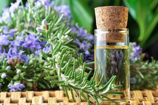 Cây hương thảo giúp mọc tóc